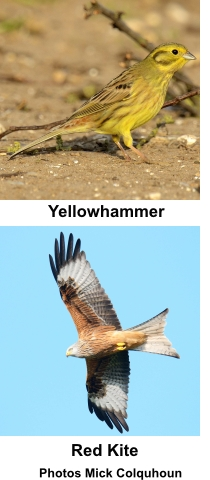 Yellowhammer and Red Kit