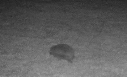 Hedgehog in Bishopstone Herefordshire