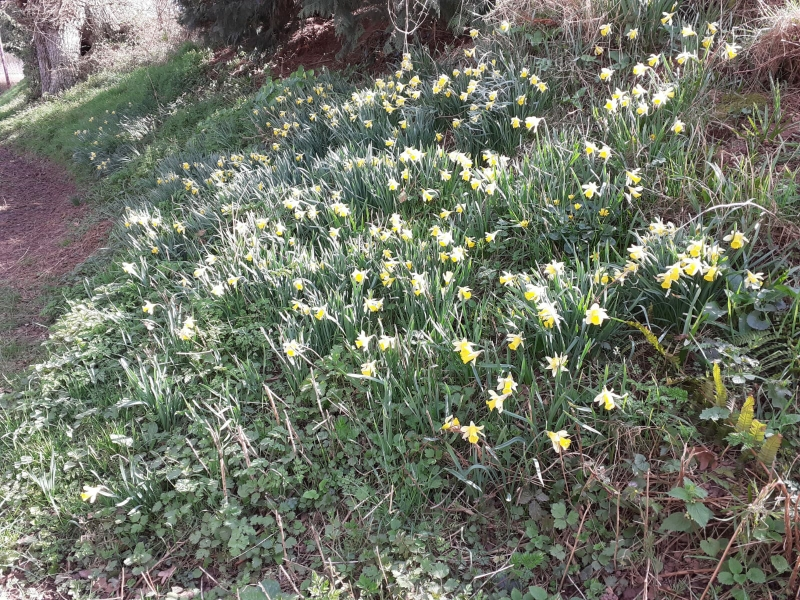 Wild daffodils in Bishopstone